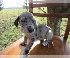 Great Dane Puppy for sale in CINCINNATI, OH, USA