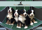 Bernese Mountain Dog Puppy For Sale in COLUMBUS, IN, USA