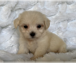 Maltese-Maltipoo Mix Puppy for Sale in SAN FRANCISCO, California USA