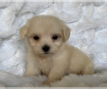 Image preview for Ad Listing. Nickname: MALTIPOO