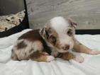 Miniature Australian Shepherd Puppy For Sale in LAWRENCE, KS, USA
