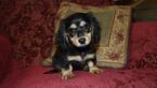 Dachshund Puppy For Sale in WARRIOR, AL
