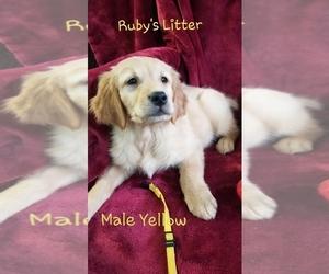 Golden Retriever Puppy for Sale in MERCED, California USA