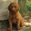 Irish Doodle Puppy For Sale in GAP, PA, USA
