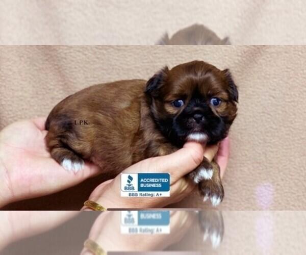 Medium Photo #1 Shih Tzu Puppy For Sale in WINNSBORO, LA, USA