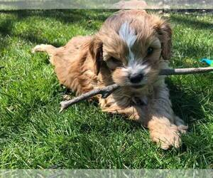 Cavapoo Puppy for sale in GPT, MS, USA