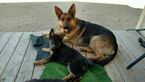 German Shepherd Dog Puppy For Sale in ODESSA, TX, USA