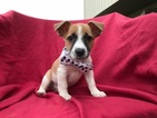 Jack Russell Terrier Puppy For Sale in BIRD IN HAND, PA, USA