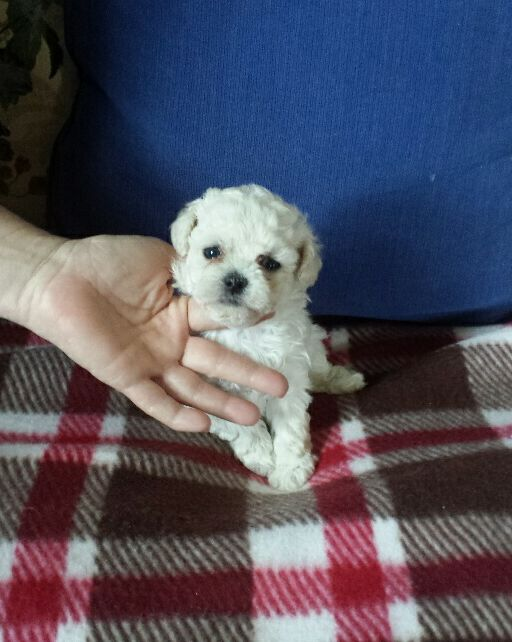 maltese for sale in va view ad maltese poodle toy mix puppy for sale virginia 4023