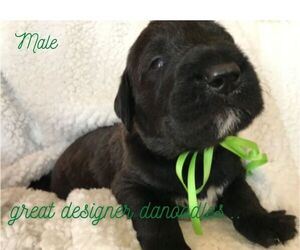 Great Dane-Poodle (Standard) Mix Puppy for Sale in SHELLEY, Idaho USA