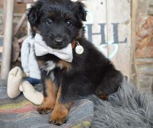 Miniature Australian Shepherd Puppy for sale in HONEY BROOK, PA, USA