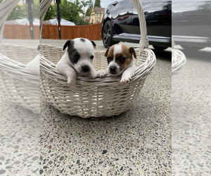 Jack Russell Terrier Puppy for sale in MILTON, WA, USA