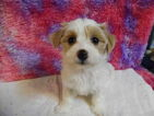 Havanese Puppy For Sale in PLYMOUTH, IN, USA