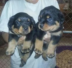 Rottweiler Puppy For Sale in HARTFORD, CT, USA
