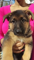 German Shepherd Dog Puppy For Sale in HARTWELL, GA, USA