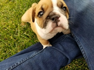 Bulldog Puppy For Sale in AURORA, CO