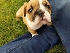 Bulldog Puppy For Sale in AURORA, CO