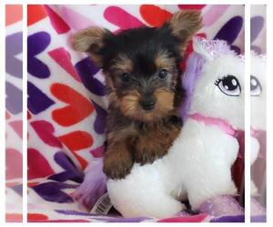 Yorkshire Terrier Puppy for sale in TAYLOR, TX, USA