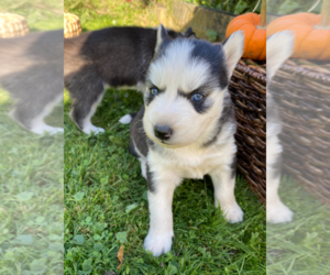Siberian Husky Puppy for Sale in EAST HERKIMER, New York USA
