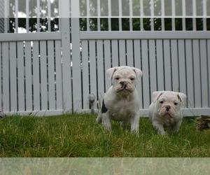 Olde English Bulldogge Puppy for sale in W WARWICK, RI, USA