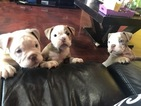 Olde English Bulldogge Puppy For Sale in FORT LAUDERDALE, Florida,