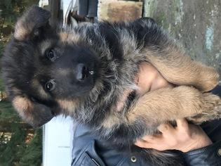 German Shepherd Dog Puppy For Sale in AUBURN, WA, USA