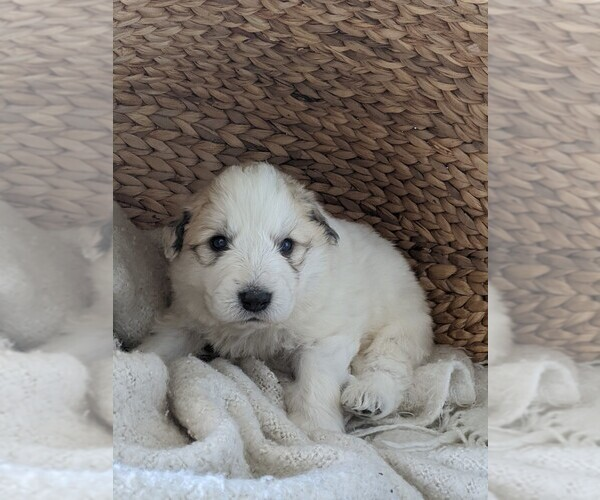 Medium Photo #80 Great Pyrenees Puppy For Sale in FALCON, CO, USA