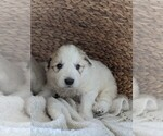 Small #79 Great Pyrenees