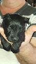 Puppy 4 Scottish Terrier