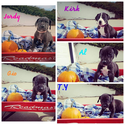 Great Dane Puppy For Sale in AGENCY, MO, USA