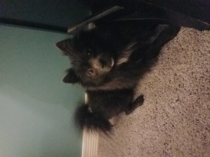 Pomeranian Puppy For Sale in OTTAWA, OH, USA