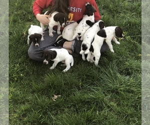 German Shorthaired Pointer Puppy for sale in FARRAR, IA, USA