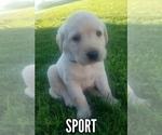 English Yellow Labrador Retriever Puppy