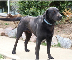 Labrador Retriever Dog for Adoption in SHILOH, Ohio USA