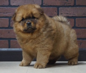 Chow Chow Puppy For Sale in NAPPANEE, IN, USA