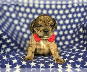 Frengle Puppy for sale in PEACH BOTTOM, PA, USA