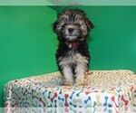 Small #4 Morkie