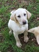 Labrador Retriever Puppy For Sale in FORSYTH, GA, USA