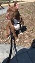 American Pit Bull Terrier Puppy For Sale in NOVI, MI, USA