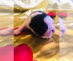 Boston Terrier Puppy for sale in CORPUS CHRISTI, TX, USA