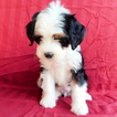 Miniature Bernedoodle Puppy For Sale in GAP, PA, USA