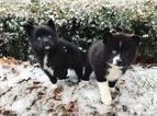 Pomeranian-Siberian Husky Mix Puppy For Sale in LEXINGTON, KY