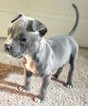 American Pit Bull Terrier Puppy For Sale in AKRON, OH, USA
