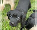 Small #5 Labrador Retriever