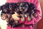 Yorkshire Terrier Puppy For Sale in LOWELL, MA