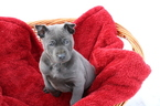 Beautiful blue puppy