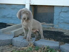 Weimaraner Puppy For Sale in AMORITA, Oklahoma,