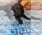 Puppy 8 Schnauzer (Giant)