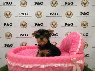Yorkshire Terrier Puppy For Sale in TEMPLE CITY, CA