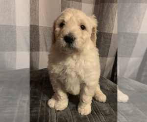 Pyredoodle Puppy for sale in STANLEY, NC, USA